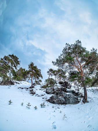 pine trees grow on the slope of the river bank in winter