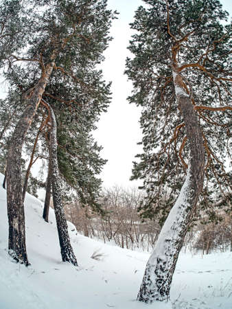 view of crooked pines in winter during snowfall and fog, forest, countryside, Chelyabinsk, Kashtak, Southern Urals 免版税图像