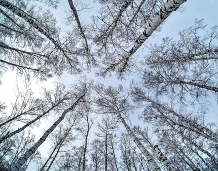 trunks of birch trees without leaves against the background of a winter sky