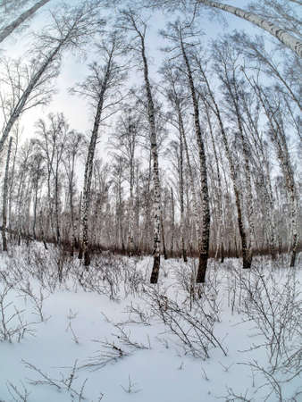 trunks of birch trees without leaves against the background of a winter sky covered with a light haze