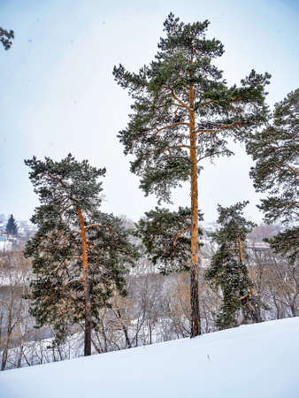view of pine trees in winter during snowfall and fog, forest, countryside, Chelyabinsk, Kashtak, Southern Urals