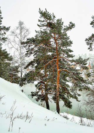 view of pine trees in winter during snowfall and fog