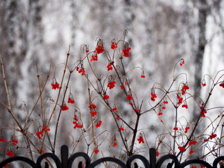 ripe red viburnum berries on the branches in winter against the background of a blurry natural landscape 免版税图像