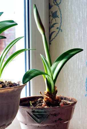 new tender amaryllis sprouts in a pot on the windowsill illuminated by the sun