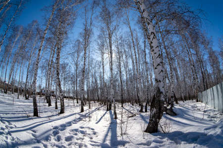 birch trunks without leaves on the background of a blue spring sky 免版税图像