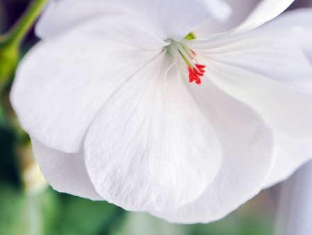 fragile delicate white geranium flower close up