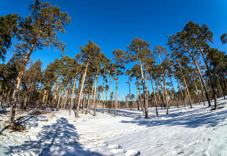 view of pine trees in spring on a sunny day, snow melts, forest, countryside, Chelyabinsk, Southern Urals