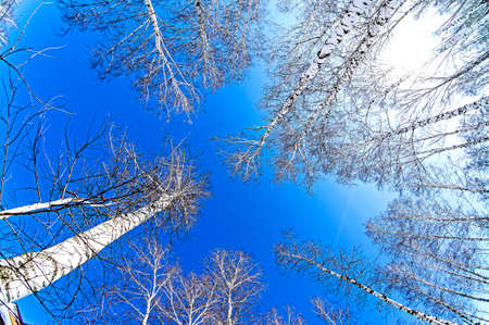 trunks of birch trees without leaves against the background of a spring sky, bottom-up view