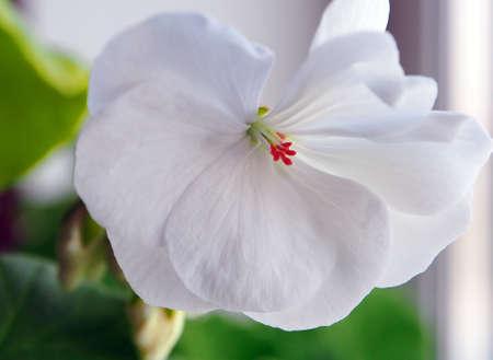 fragile delicate white geranium flower close up in a pot on the windowsill 免版税图像