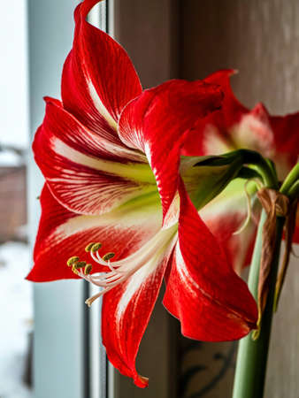 gentle beautiful large red Amaryllis flowers on the windowsill