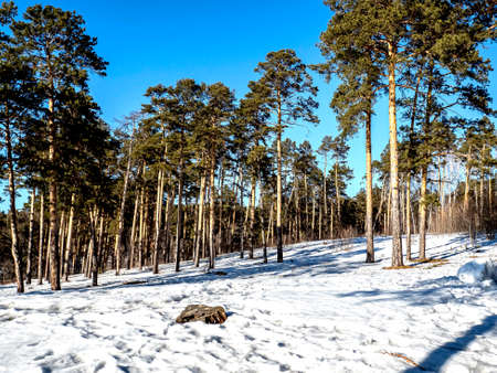 view of pine trees in spring on a sunny day