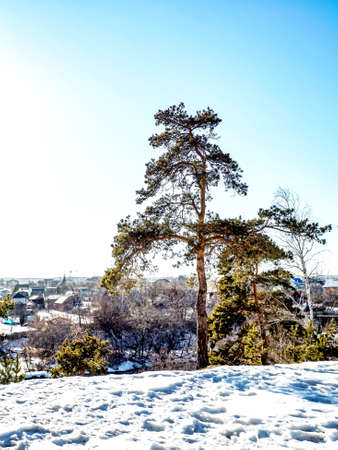 pine trees grow on the high bank of the river on a sunny spring day, in the distance you can see the river and the village, the snow melts 免版税图像