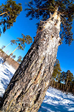 view of pine tree in spring on a sunny day, snow melts, forest, countryside, Chelyabinsk, Southern Urals