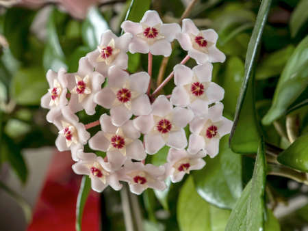 Flower Of Hoya Carnosa. Porcelain flower or wax plant. Has wax leaves and sweet-smelling flowers