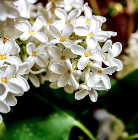 branches of blooming white lilac on a blurry natural background, narrow focus area