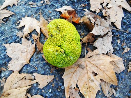 hedgeapple: Brain shaped green fruit, Maclura pomifera (known as Osage oranges) Stock Photo