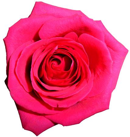 rosas rojas: Rosa rosa, aislado
