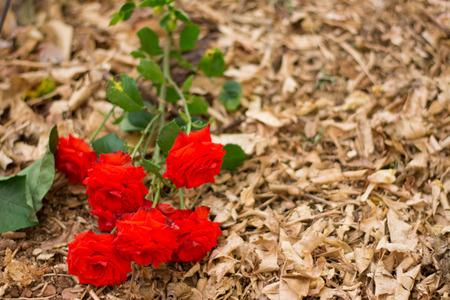 roses rouges: Bouquet de roses rouges tomb� sur le sol.