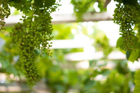 premature: View of premature grapes in the vineyard Stock Photo