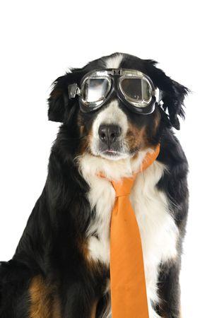 dog with orange tie and motorbike glasses isolated on white background photo