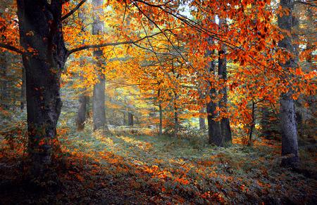 autumn colour: Beautiful autumn colour forest