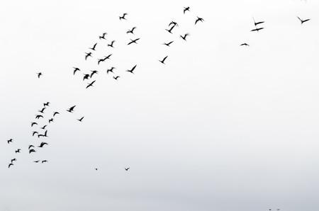 flock: Flock of birds
