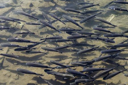 ecosistema: Peces como el ecosistema del río