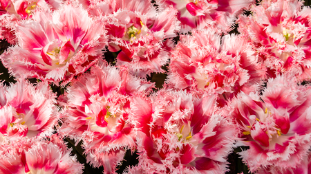 Pink tulips flowerbed, spring background Stock Photo