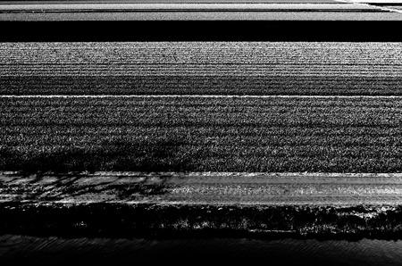 Black and white tulip field in springtime