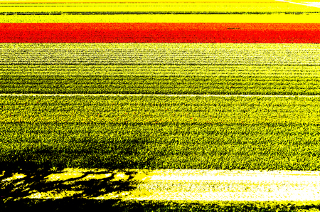 holland: Dutch tulip field in springtime illustration