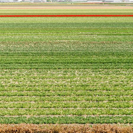 holland: Colorful Dutch tulip field in springtime Stock Photo