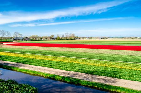 Colorful Dutch tulip field in springtime Stock Photo
