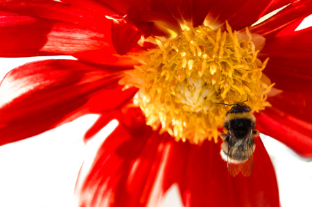 humilde: Closeup image of a bumble bee and red Dahlia flower Foto de archivo