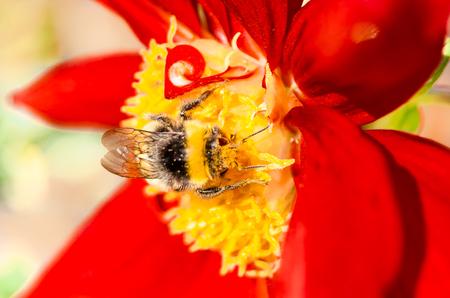 Image gros plan d'une abeille bumble et fleur rouge Dahlia