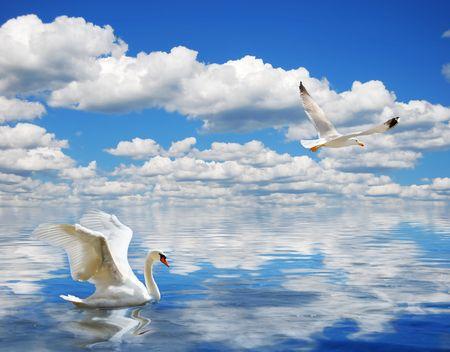 calmness: Graceful swan swimming in the ocean