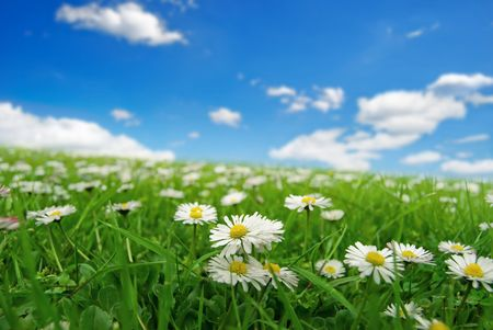 Field with daisies Stock Photo - 3042258