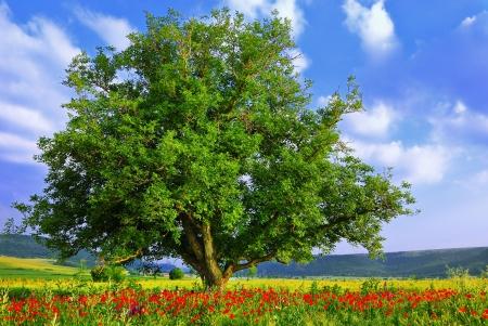 Poppys field, blue sky and big green tree
