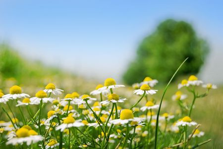 Field with chamomile, tree and wheat Stock Photo - 4807163