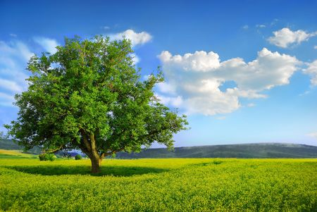 Lonely Fresh Green Tree in a Yellow Field