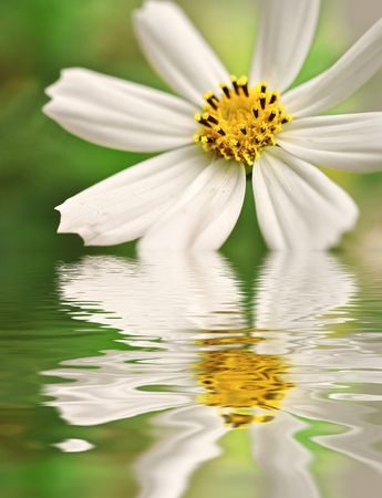 Closeup of white daisy reflected in the water