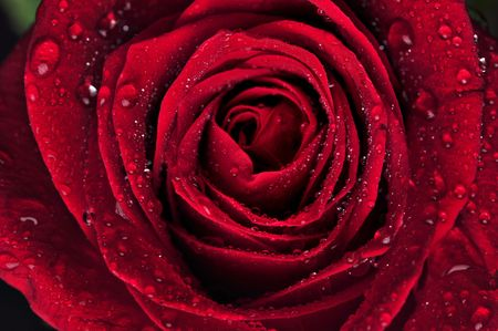 Beautiful red rose with rain drops on black background photo