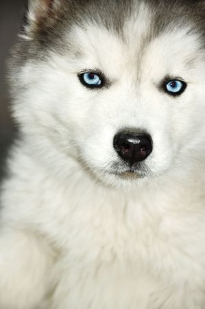 Siberian Husky blue eyes, puppy  photo