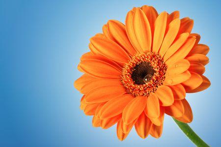 Fiore di Gerbera Daisy Orange su sfondo blu