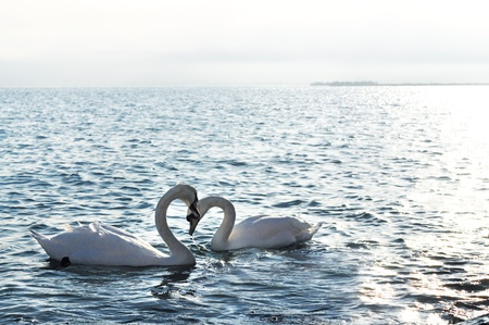Swans Hearts on the sea of love forever  Stock Photo
