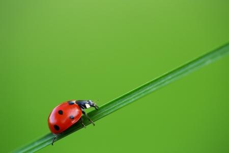 mariquitas: Ladybug en la hierba verde y azul de fondo Foto de archivo