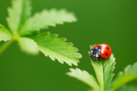 Ladybug on green leaf and green background