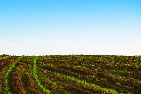 Green agricultural sow field and blue sky photo