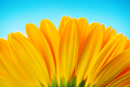Close-up of yellow gerbera daisy backside isolated on blue photo