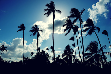 Coconut palm trees perspective view photo