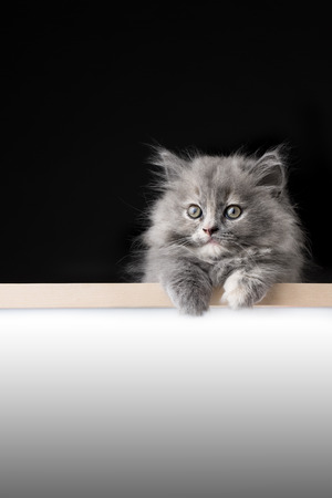 Cat or kitten isolated behind signboard photo